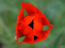 Free Red Tulip Stock Image - 3372681