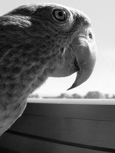 Free Parrot Royalty Free Stock Photo - 3373065