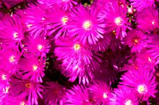 Bunch Of Pink Wild Flowers Stock Image