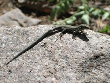 Free Lizard 8 Stock Photo - 3373300