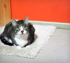 Free Cat On A Carpet Stock Photography - 3374722