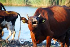 Free Cattle Stock Photo - 3374730