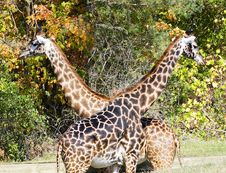 Free Crossed Giraffes Royalty Free Stock Image - 3374766