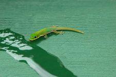 Free Drinking Gecko Royalty Free Stock Photo - 3375475