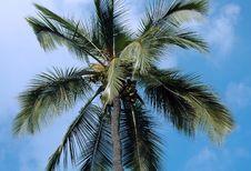 Free Coconut Palm Tree Stock Photography - 3376032