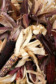 Free Indian Corn 5726 Stock Photo - 3376930