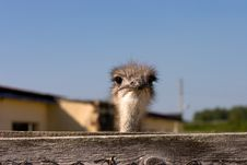 Free Ostrich Stock Photography - 3377512