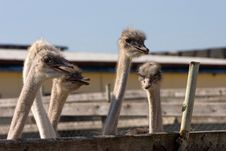 Free Ostrich Royalty Free Stock Photography - 3377547