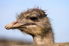 Free Ostrich Royalty Free Stock Photos - 3377628