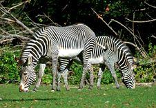 Free Zebras Royalty Free Stock Image - 3377956