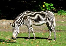 Free Zebras Stock Photography - 3378002