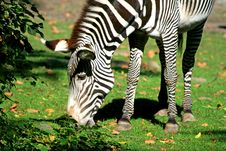 Free Zebras Stock Photos - 3378013