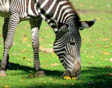 Free Zebras Royalty Free Stock Images - 3378019