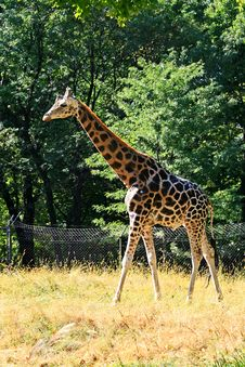 Free Giraffe Royalty Free Stock Photos - 3378078