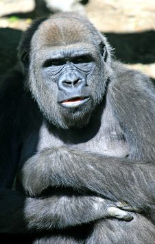 Free Gorilla Stock Photos - 3378093