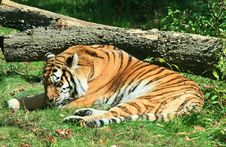 Free Tiger In A Zoo Stock Photos - 3378263