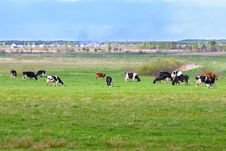 Landscape With Cows Royalty Free Stock Photos