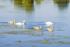 Free Family Of The Swans Royalty Free Stock Photography - 3378487