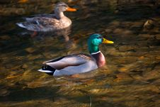 Male And Female Mallard In Fal Stock Photography