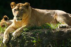 Free Lion Stock Image - 3379971