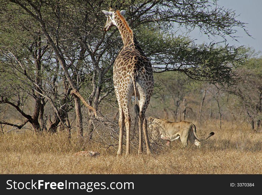 Giraffe, baby and staking lion