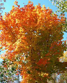 Free Tree In Autumn Royalty Free Stock Photo - 33703945