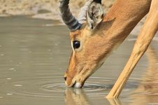 Free Impala, Common - Wildlife Background From Africa - Quenching Thirst Stock Photo - 33703970