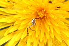 Macro Spider On A Dandelion Stock Image
