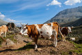 Free Cows On The Alpine Meadows Stock Photo - 33712370