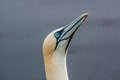 Free Northern Gannet Royalty Free Stock Images - 33719219