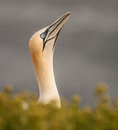 Free Northern Gannet Stock Photography - 33719392