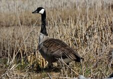 Free Canadian Goose Royalty Free Stock Images - 33712339