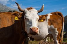 Free Cows On The Alpine Meadows Stock Photo - 33712390