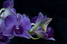 Free Orchid Royalty Free Stock Images - 33714509