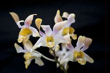 Free Orchid Stock Photos - 33714613