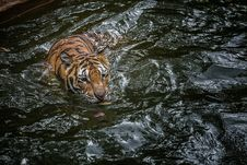 Free Tiger In Pool Stock Images - 33715294
