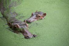 Free Two Hippo Royalty Free Stock Photo - 33715925