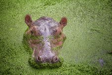 Free Hippo Royalty Free Stock Photography - 33716047