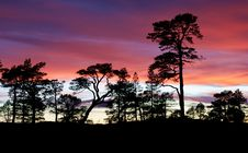 Free Pines In The Sunset Royalty Free Stock Photos - 33716258