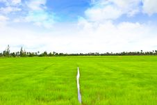 Rice Field With The Blue Sky Stock Photo