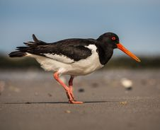 Free Oystercatcher Royalty Free Stock Image - 33718686