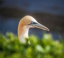 Free Northern Gannet Royalty Free Stock Images - 33718889