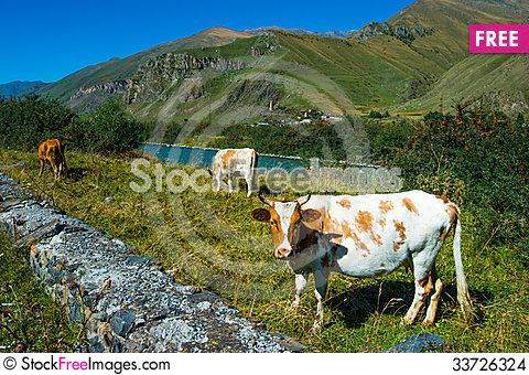 Free Cows Stock Images - 33726324