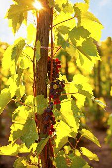 Free Ripe Grapes Stock Image - 33728121