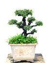 Free Bonsai Tree Stock Photography - 33733292
