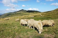 Free Herd Of Sheeps Stock Image - 33732001