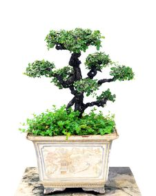 Free Bonsai Tree Stock Photography - 33733292