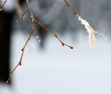 Frost On A Branch Stock Image