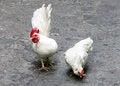 Free Two White Cocks On The Street Stock Photo - 33758700
