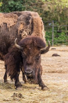 Free Bison In Aggressive Pose. Royalty Free Stock Photography - 33757177